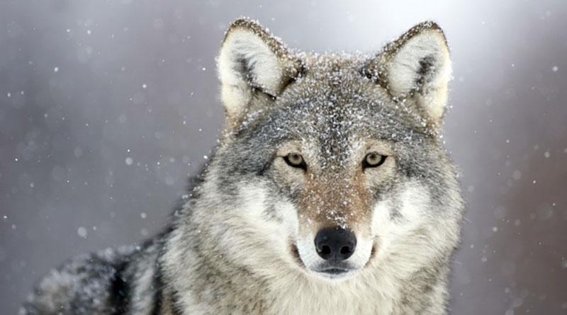 Photo of Ozren: U subotu tradicionalni lov na vuka uz nastup Ljupke Stević