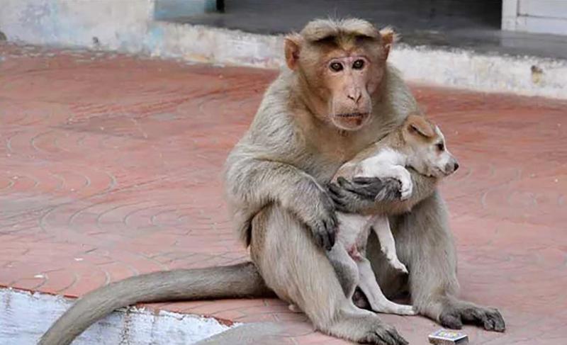 Photo of Majmun usvojio štene psa, brani ga od lutalica, hrani i odgaja