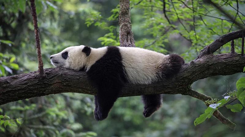 Photo of Novi nacionalni panda park u Kini će biti tri puta veći od Yellowstonea