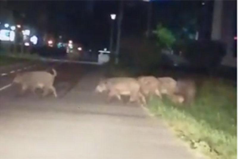 Photo of Divlje svinje u Novom Beogradu (VIDEO)