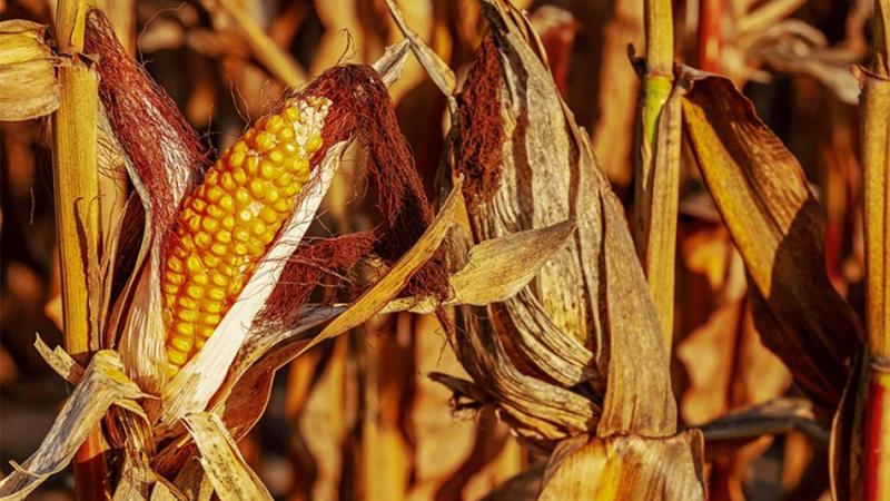 Photo of Agrometeorologija: Vrijeme pogoduje berbi ranih hibrida kukuruza