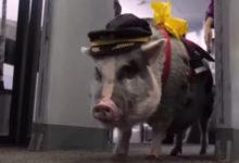 Photo of Svinja LiLou olakšava letenje putnicima koji se boje aviona  (VIDEO)