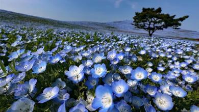 Photo of Zadivljujući prizori iz Japana: Posjetite park s pet miliona plavih cvjetova (FOTO)