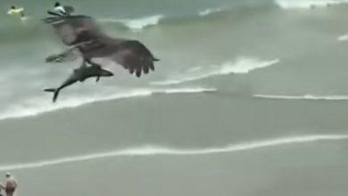 Photo of Spektakularan prizor: Orao oteo ajkulu (VIDEO)
