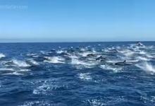 """Photo of Pogledajte """"stampedo"""" delfina u Californiji (VIDEO)"""