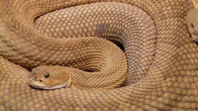 Photo of Šta tačno znači zmija u snu – važno je sjetiti se šta ste sanjali
