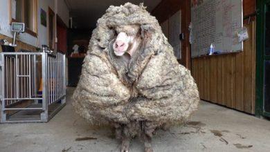 Photo of Australija: U šumi pronađen ovan obrastao sa 35 kilograma vune