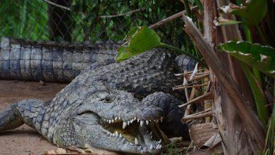Photo of U stomaku aligatora pronašli pločicu psa nestalog prije četvrt vijeka