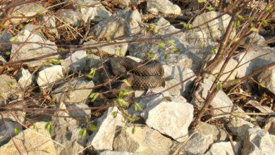 Photo of Kako izbjeći ugriz zmije i šta ako do njega dođe